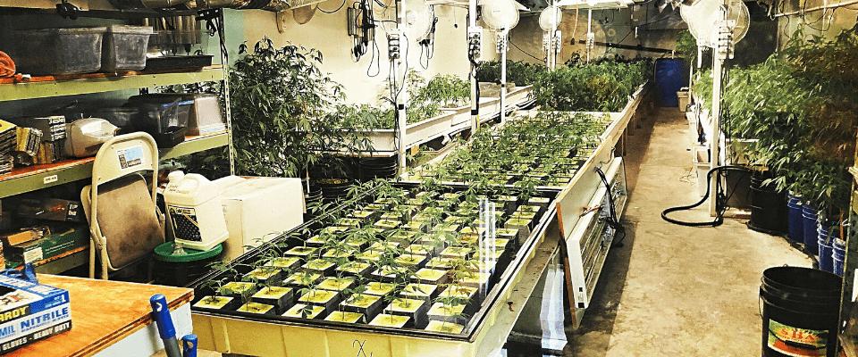 LA最古のディスペンサリー「MMDhollywood 」に併設された室内栽培場の画像